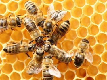 Pomagamy pszczołom bez lipy - rusza kampania edukacyjna
