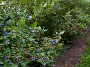 Uprawa borówki amerykańskiej nie tylko wprzydomowym ogrodzie