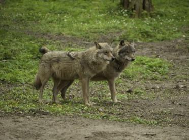 Za dużo wilków na Dolnym Śląsku