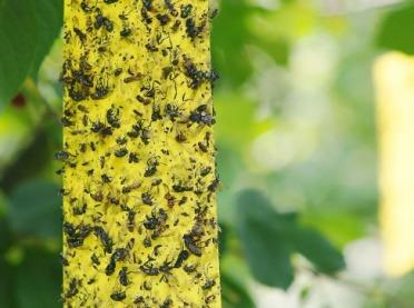 Kontrola szkodników za pomocą opasek klejących na pnie drzew owocowych