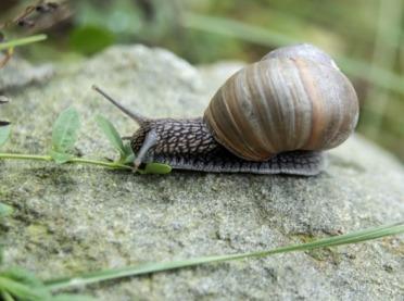 Nie będzie zbioru ślimaków winniczków na Warmii i Mazurach