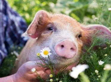 Wieprzowina i stosunki międzyludzkie