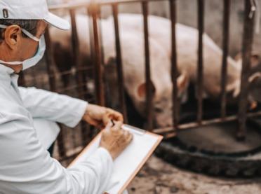 Krótszy okres ważności badań próbek krwi od świń