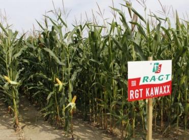 Jakie nasiona kukurydzy wybrać?