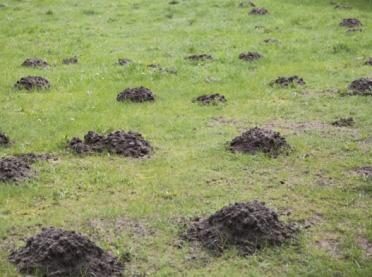 Jak pozbyć się kretów z ogrodu, sadu i pola?