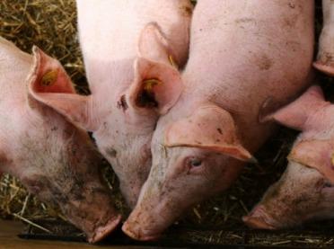 Zapach świń przeszkadza - co z ustawą odorową?
