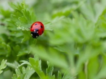Biedronki przyjazne dla upraw – robaki warte poznania i ekologicznego stosowania!