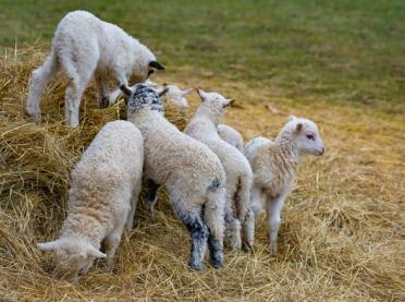 Trwa intensywna sprzedaż młodych jagniąt