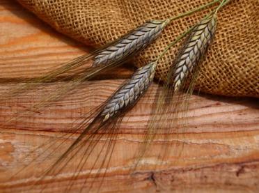 Podróż do dawnych czasów... pszenica płaskurka