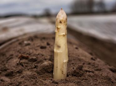 Na Dolnym Śląsku ruszyły zbiory szparagów