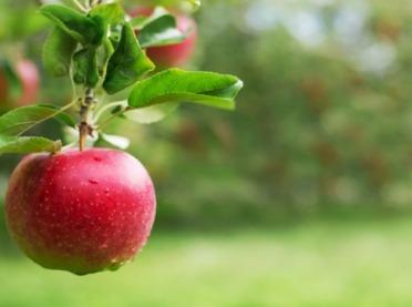 Uprawa ekologicznych jabłek z owocami pakowanymi w osłony