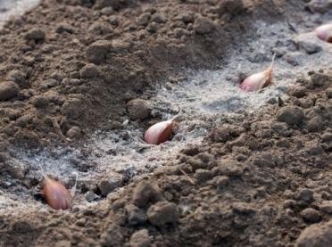 Jesienne sadzenie czosnku - praktyczny poradnik