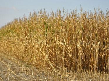 Będzie można szacować szkody w kukurydzy uprawianej na ziarno i kiszonkę
