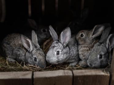 Kokcydioza - najczęstsza choroba królików hodowlanych