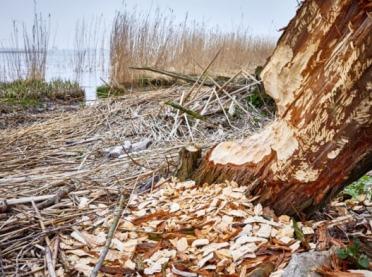 Ograniczyć negatywne skutki aktywności wilków i bobrów – dotacja z NFOŚiGW