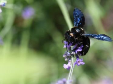 Czarna pszczoła przyleciała do Polski – widzieliście ją?
