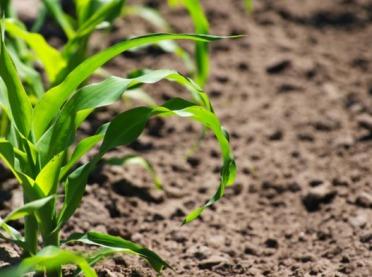 O niedoborach składników pokarmowych w kukurydzy