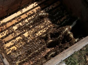 Zgnilec amerykański atakuje pszczoły