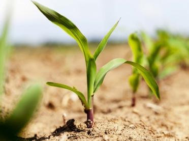 Jak rozpoznać niedobory pokarmowe w kukurydzy?