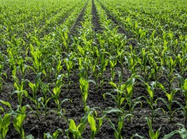 Ploniarka zbożówka w natarciu na kukurydzę