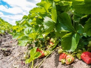 IUNG potwierdza suszę rolniczą - w jakich uprawach?