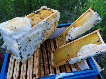 Ule zalane pianką montażową... zginęło 250 tys. pszczół