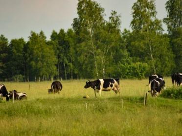 Krowy z Deszczna w izolacji - skomplikowanej historii cd.