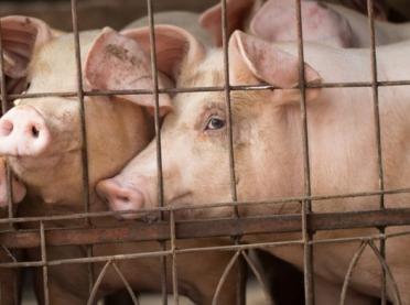 Potwierdzono kolejne ognisko ASF u świń