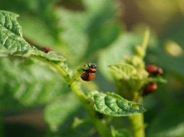 Stonka w natarciu – w upale insektycydy nie działają