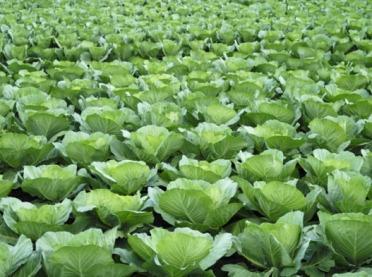 Chwasty w uprawie kapusty - jak zwalczać?