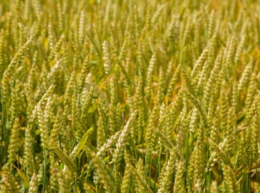 Choroby grzybowe zbóż - jak zwalczać fuzariozę kłosów?