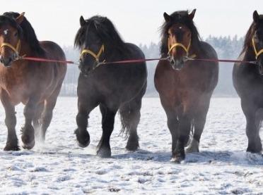 Konie zimnokrwiste - co warto o nich wiedzieć?