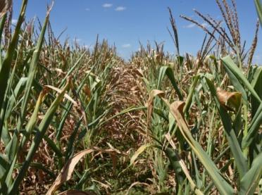 Susza szkodzi kukurydzy. Czy zabraknie paszy?