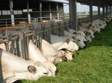 Rasy bydła mięsnego - poznajmy Piemontese