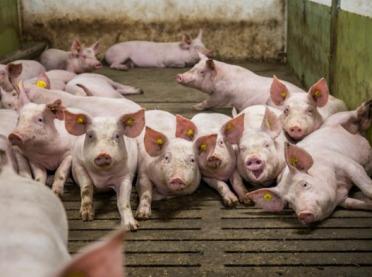 Co robią świnie? Charakterystyka zachowań trzody chlewnej