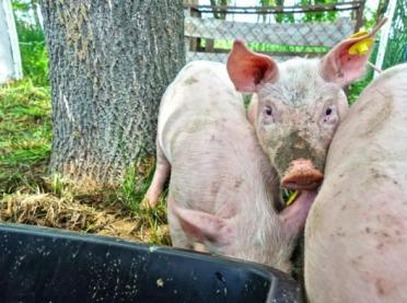Nie dla dopłat do świń utrzymywanych na wybiegach - apel KZPPTCH