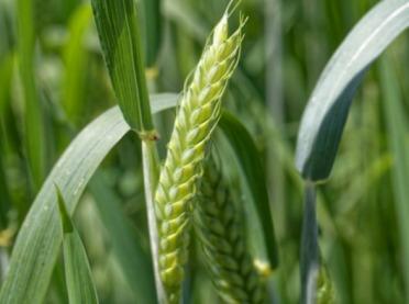 Czy warto siać stare gatunki pszenic?