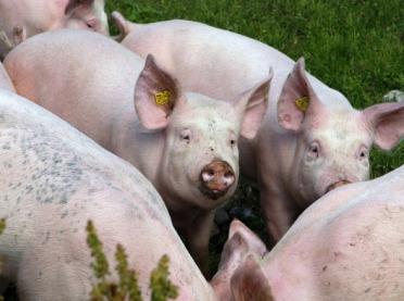 18 i 19 ognisko ASF w stadach świń