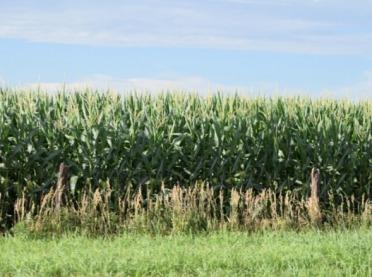 Rozpoczął się sezon na stonkę kukurydzianą