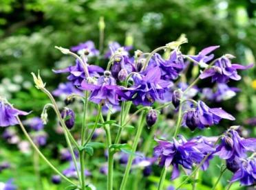W świecie Hildegardy... ziele orlika na letni ból gardła