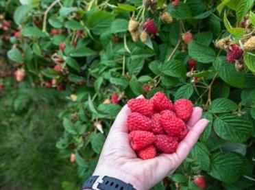 Ruszył skup owoców - astronomiczne ceny malin, a co z wiśniami?
