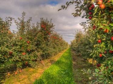 Jak zapowiadają się tegoroczne zbiory jabłek?