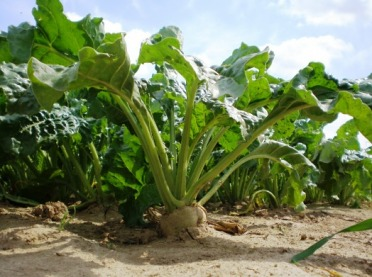 Buraki cukrowe: warto monitorować liście