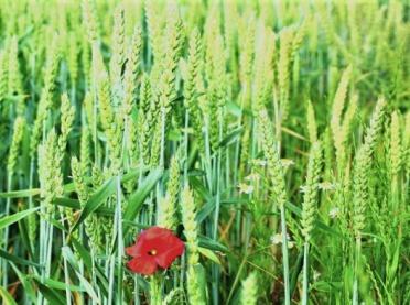 Fungicydy w ochronie pszenicy - ocena skuteczności