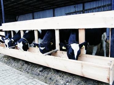 Brakowanie krów mlecznych