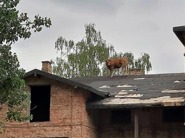 Co krowa robiła na dachu? Niecodzienna akcja strażaków