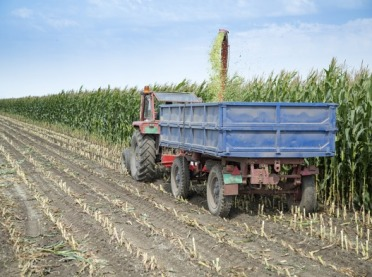 Czas kiszonek - jakie korzyści z uprawy kukurydzy na kiszonkę?