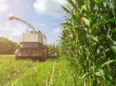 Kukurydza na kiszonkę: kosić wysoko czy nisko?