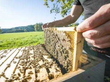 Pszczoły u lekarza - zapobieganie i leczenie chorób pszczół