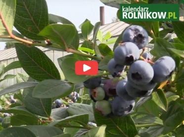 """""""Z kamerą w gospodarstwie"""" Plantacja borówki w Krojczynie"""